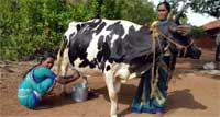 Rural women with Cow